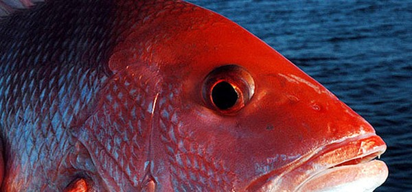 Bluepoints Marina, Port Canaveral: Three-Day Red Snapper Season To Open August 23rd