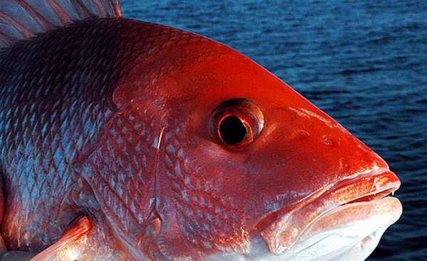 Red Snapper Season 2013 Bluepoints Marina In Port Canaveral