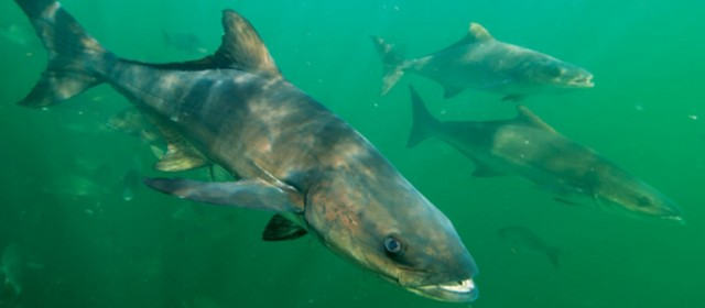 It's Time to Talk Cobia – Spring Fishing Report